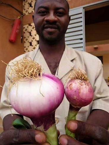 Farmer in Burkina Faso with onions that are fertilised with urine (left) and without urine (right). Source: DAGERSKOG (2009)