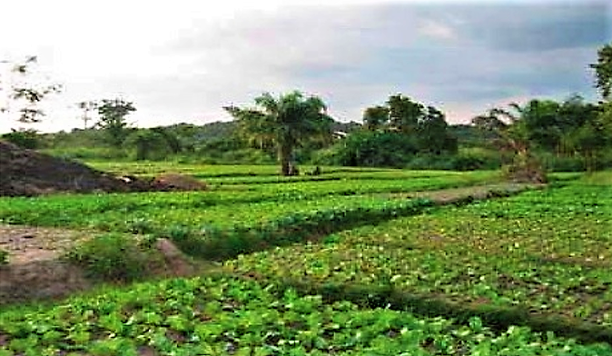 Lettuce farm fertilised with safe compost made out of faecal sludge treated in drying beds at Gyenyasi farmers association in Kumasi. Source: ERIKSEN-HAMEL & DANSO (2008)