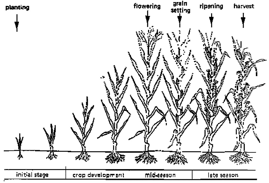 Growth stage of a crop. Source: FAO (1986)
