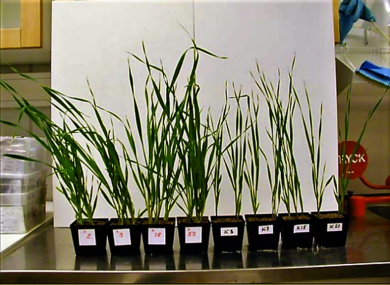 This development leads to water scarcity and conflicts worldwide and seriously undermines progress towards achieving the MDGs. Wheat grown in sand, fertilised with Struvite (pots with red mark) compared to controls. Source: GANROT (n.y.).