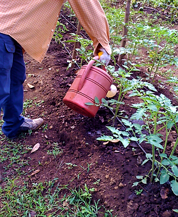 Small-scale application of diluted urine with watering can in the Philippines. Source: GENSCH (2013)