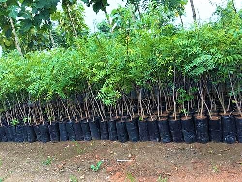 Neem trees before planted into the soil. Source: INDIAMART (n.y.)