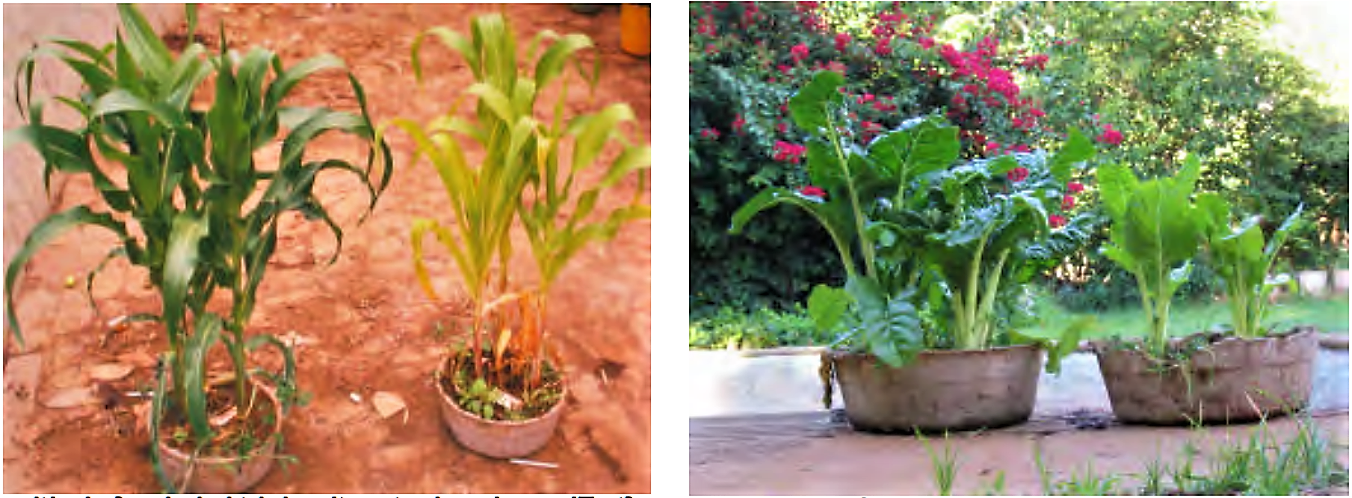 Plant growth of maize and spinach after 2 months treatment with diluted urine (left part of each picture) compared to water application only (right part of each picture). Source: MORGAN (2004)