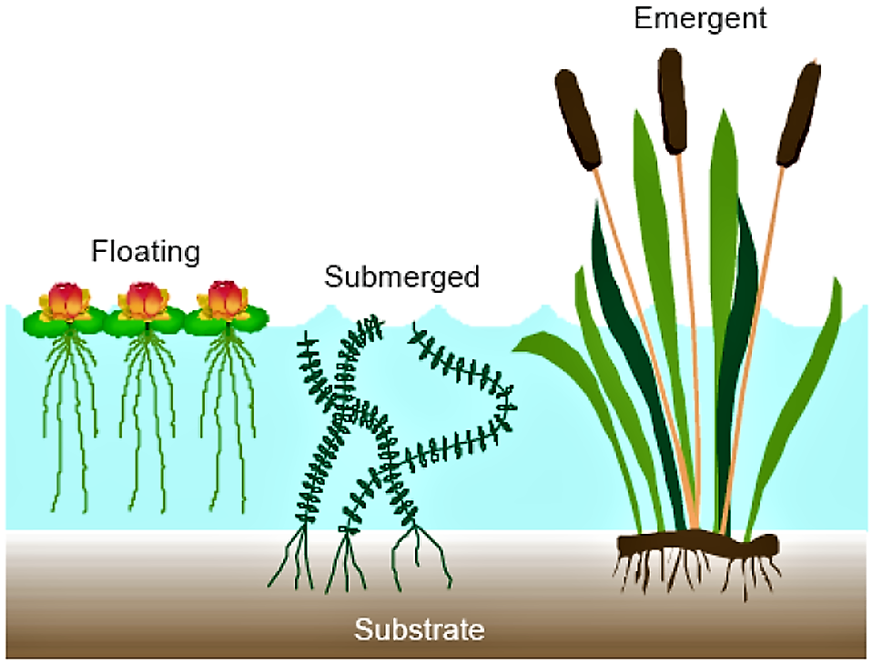 Plants for free-water surface flow constructed wetlands. Source SA'AT (2006)