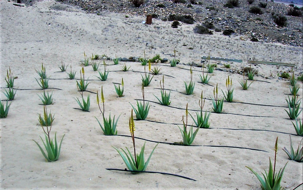 Fog water used for growing Aloe Vera with a drip irrigation system at Faldo Verde, Chile
