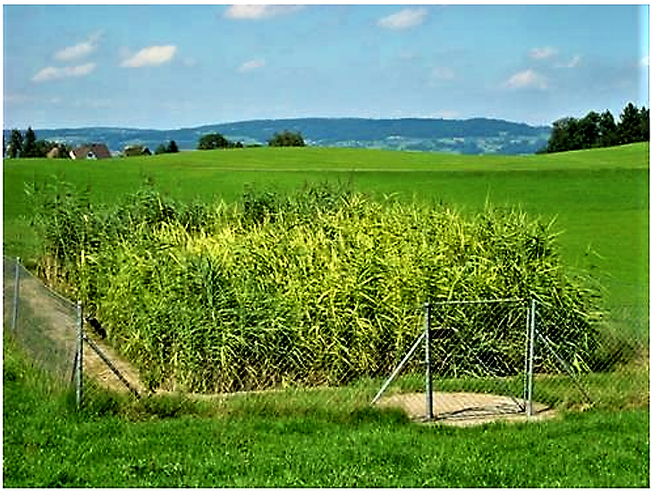 A vertical constructed wetland in Switzerland vegetated with Phragmites australis. Source: B. STAUFFER (2010)