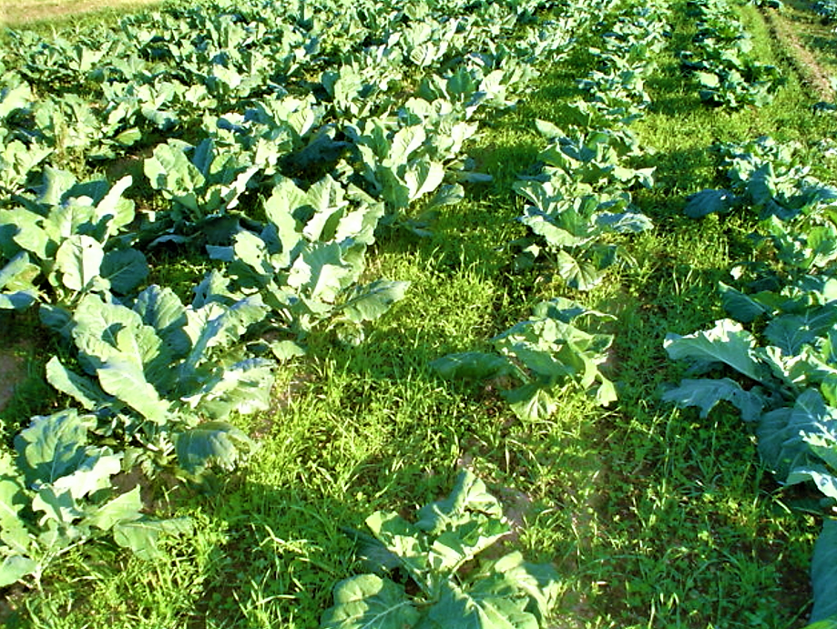 A field of cover crops: in between the collards in this field is a cover crop mix of rye, hairy vetch and crimson clover, which provides a lush cover protecting the soil from harsh winds and eroding/compacting rains. Source: TILLER (2012)