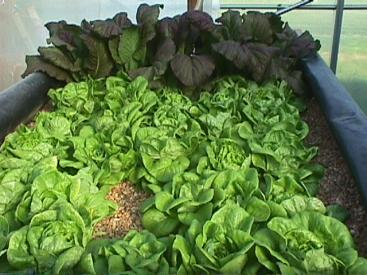 Growing of lettuce in gravel bed, with a fish production effluent flowing through. Source: CALS (n.y.)