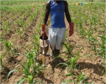 Application of Urine with Watering Can on bigger fields in Burkina Faso. Source: Dagerskog, L. (CREPA)