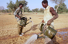 Farmers in Africa irrigate a field with watering cans. The rose on the top of the outlet creates a sprinkler effect. A carry-pole across the shoulders as done in many parts of Asia would simplify the irrigation work. Source: FAO (Editor) (2011)