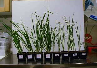Wheat grown in sand, fertilised with Struvite (pots with red mark) compared to controls.Source: GANROT, Z. (n.y.).
