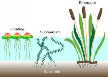 Plants for free-surface flow constructed wetlands. Source SA'AT (2006)