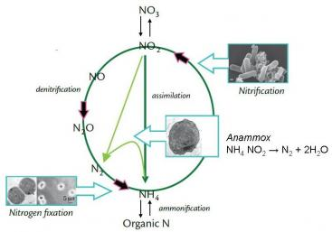 Involvement of the Anammox process in the biological nitrogen cycle including metabolic pathway for anaerobic ammonium oxidation. Source: WARD et al. (2011)