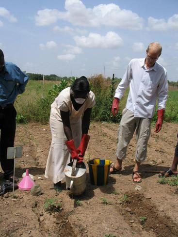 The urine is introduced into the soils via small ditches besides the young tomato crops. Then the ditches are covered to prevent ammonia loss to the air. CREPA headquarter, Ouagadougou, Burkina Faso.